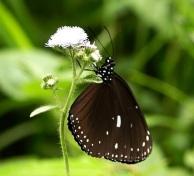 圓翅紫斑照