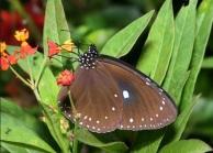 小紫斑蝶照