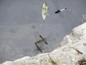 鼎脈蜻蜓護衛產卵.....